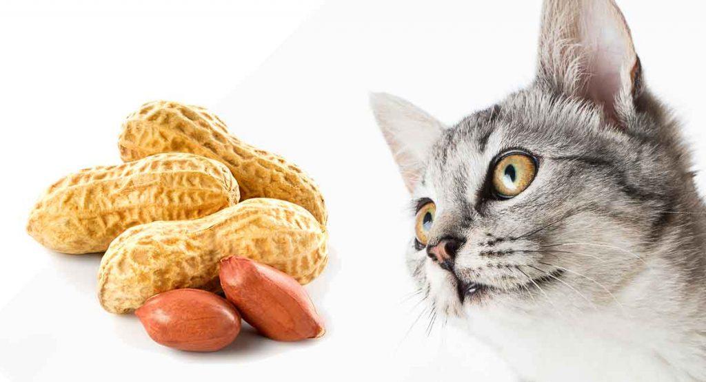 Can-cats-eat-peanuts-HC-long