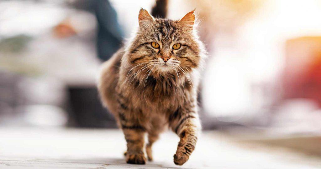 cat-limping-1